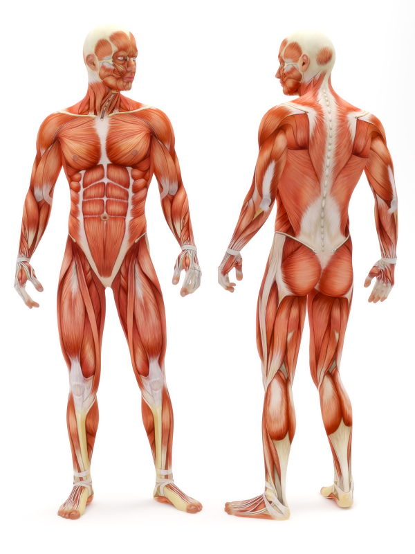 the muscular system: did you know… | marsha g. clarke rmt, Muscles