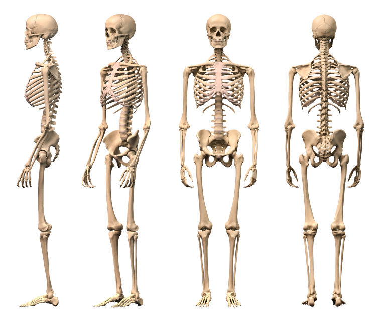 The skeletal system did you know marsha g clarke rmt male human skeleton four views front backside and perspective ccuart Image collections